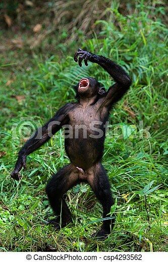 bonobo., 唱 - csp4293562
