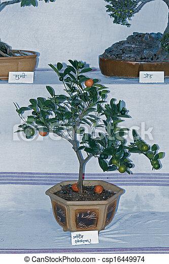 Bonsai arancia pianta aspro frutte bonsai pianta for Bonsai pianta