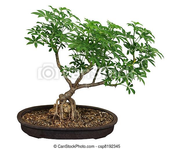 https://comps.canstockphoto.com.br/bonsai-ficus-banco-de-imagens_csp8192345.jpg