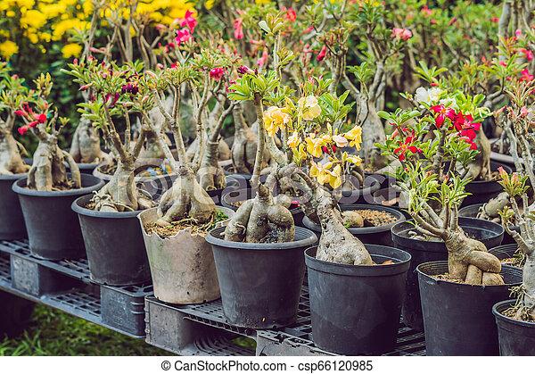 Bonsai en honor al año nuevo vietnamita. El mercado de flores de Año Nuevo Lunar. Año nuevo chino. Tet - csp66120985