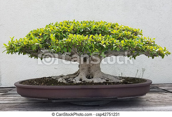 bonsai miniatur baum ficus bonsai baum miniatur penjing tablett landschaftsbild ficus. Black Bedroom Furniture Sets. Home Design Ideas