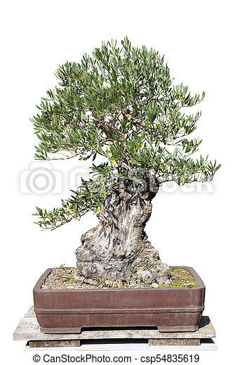 Bonsai Of A Olive Tree In Pot And Completely Cut Out On White Background Canstock