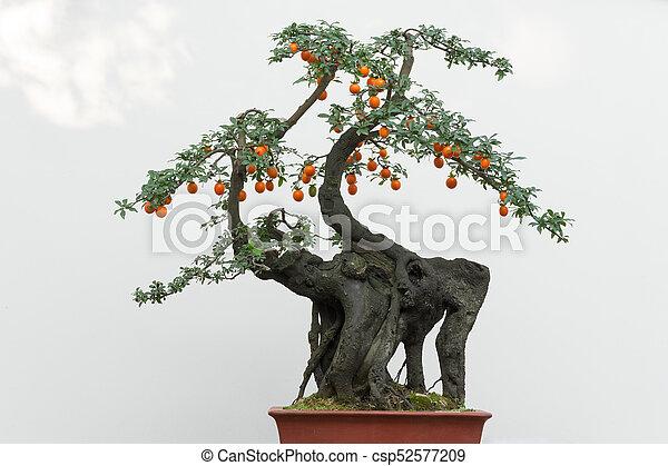 Arbol Bonsai Con Frutas Naranjas Contra Pared Blanca China Canstock
