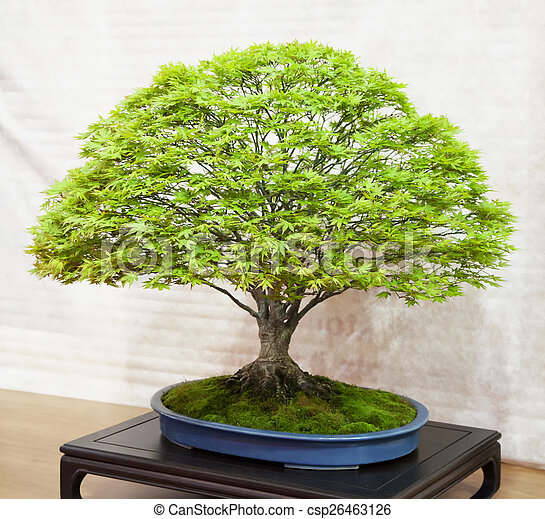 Bonsai Big Bonsai Tree Species Acer Palmatum In A Blue Vase
