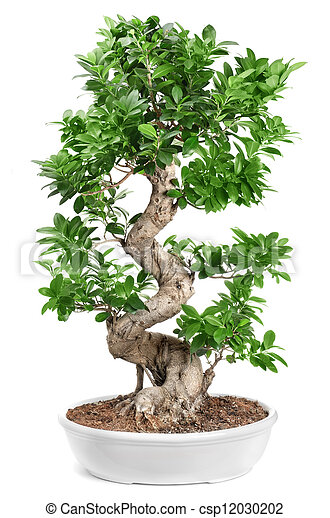 bonsai - csp12030202