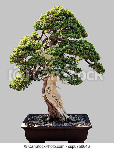 stock bild von bonsai topf baum freigestellt. Black Bedroom Furniture Sets. Home Design Ideas
