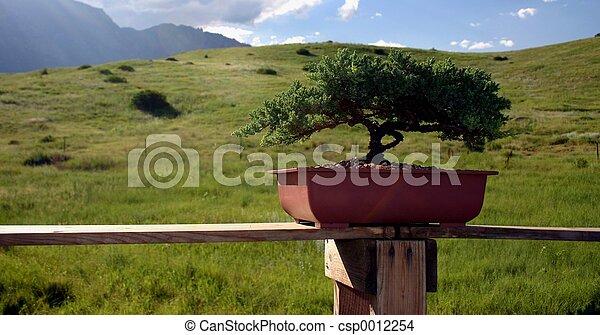 Bonsai Tree - csp0012254