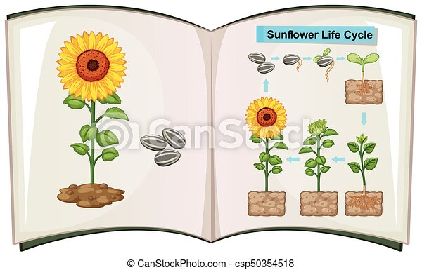 Book showing diagram of sunflower life cycle - csp50354518