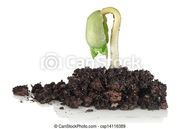 boon, kiemplant - csp14116389