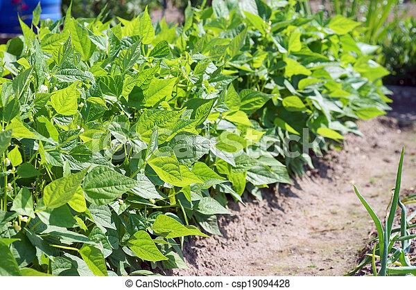 boon, plant - csp19094428