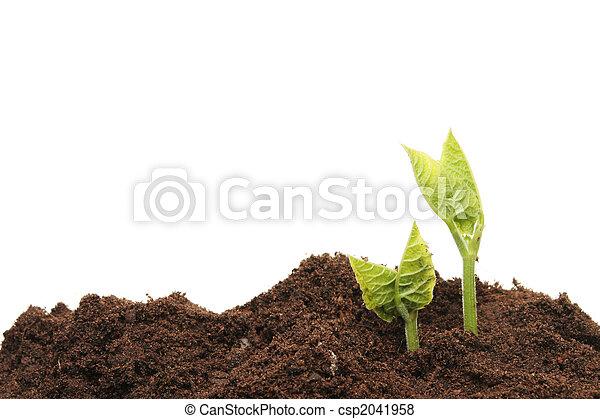 boon, seedlings - csp2041958