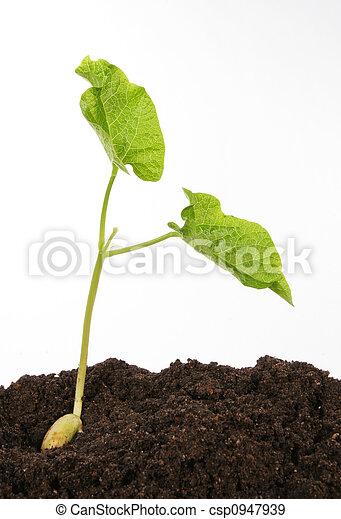 boon, witte , tegen, kiemplant - csp0947939