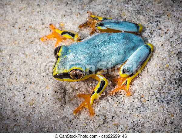 Boophis tree frog of Madagascar - csp22639146