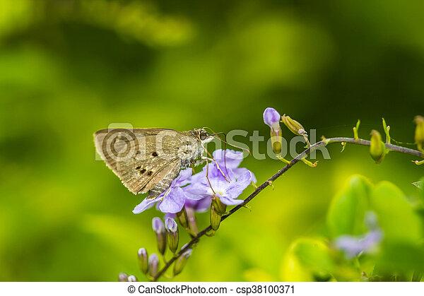 Sưu tập Bộ cánh vẩy 2 - Page 32 Borbo-cinnara-hesperiidae-butterfly-0n-picture_csp38100371