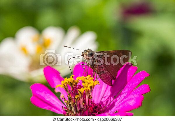 Sưu tập Bộ cánh vẩy 2 - Page 32 Borbo-cinnara-hesperiidae-butterfly-0n-pictures_csp28666387
