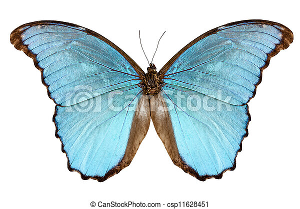 borboleta, alexandrovna, menelaus, espécie, morpho - csp11628451