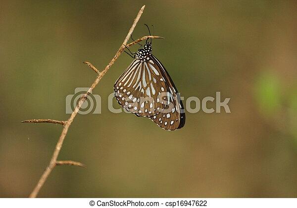 borboleta - csp16947622
