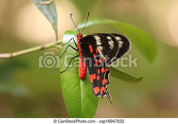 borboleta - csp16947632