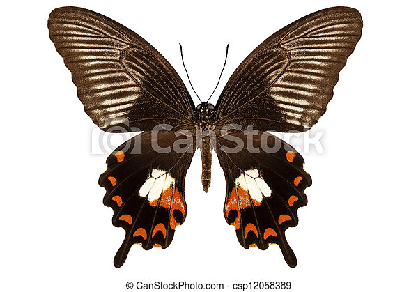 "borboleta, mormon"", polytes, papilio, mandane, ""common, espécie - csp12058389"
