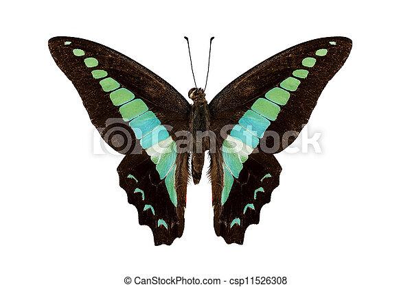 borboleta, sarpedon, graphium, espécie - csp11526308