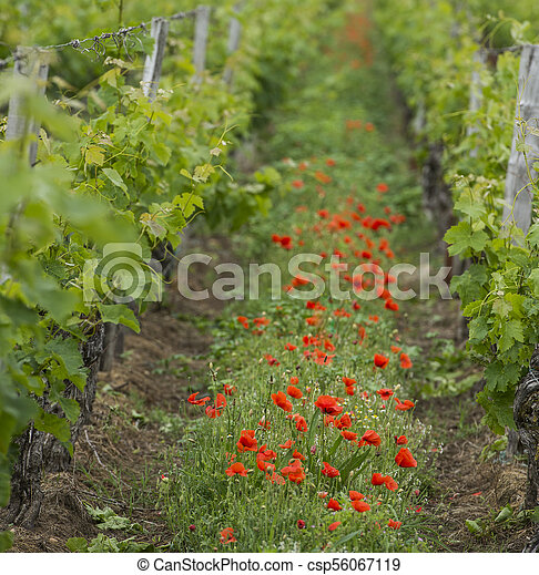 Bordeaux wine region in france poppies in the vineyard countrysi - csp56067119