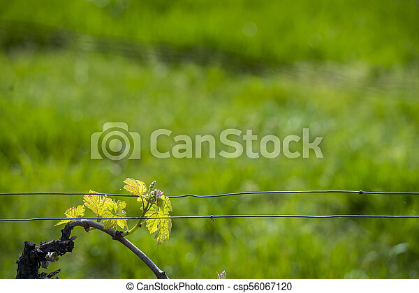 Bordeaux wine region in france poppies in the vineyard countrysi - csp56067120