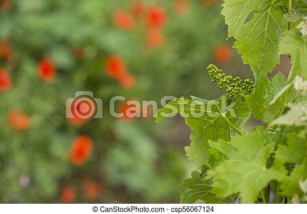 Bordeaux wine region in france poppies in the vineyard countrysi - csp56067124