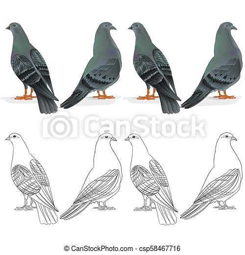 Border Carrier Pigeon Breeding Bird Natural And Outline Set One