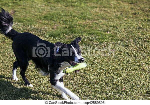 Border Collie Dog Playing in the Park - csp42589896