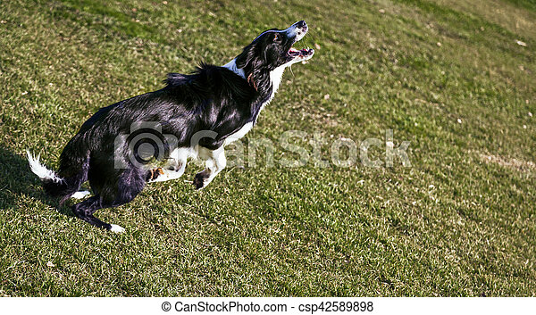 Border Collie Dog Playing in the Park - csp42589898