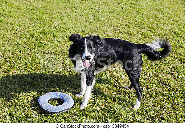 Border Collie Dog with Pet Toy on Lawn - csp13349454