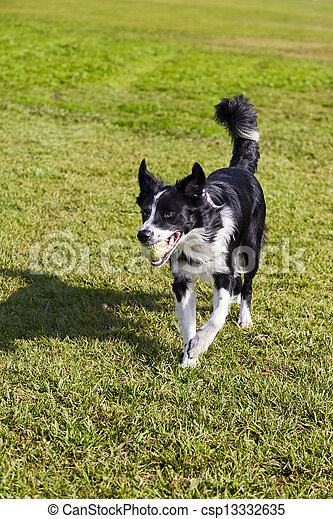 Border Collie Dog with Tennis Ball at Park - csp13332635