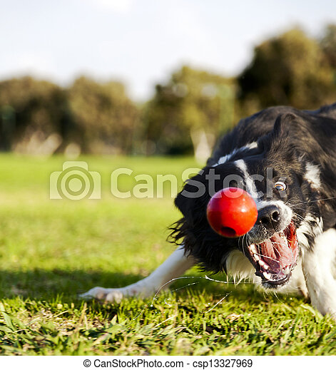 Border Collie Fetching Dog Ball Toy at Park - csp13327969