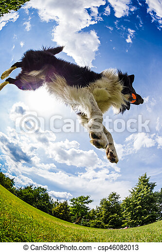 Border Collie jumping for the ball. - csp46082013