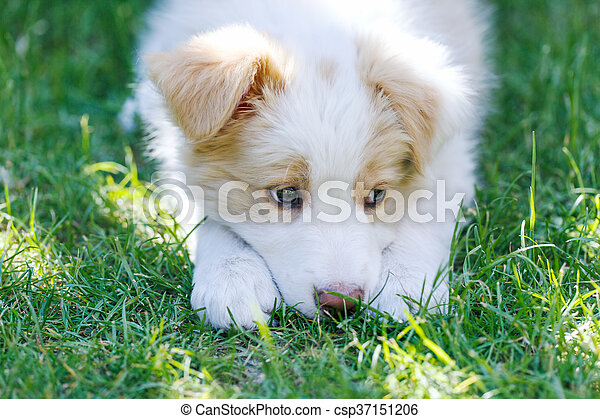 Ee Red Border Collie Puppy Young Dog Outside On The Lawn