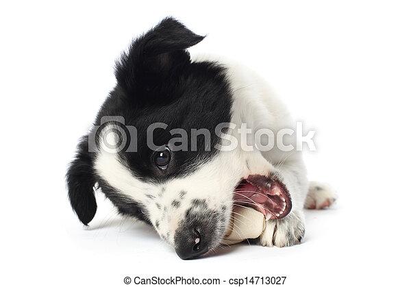 Border collie puppy with a bone - csp14713027