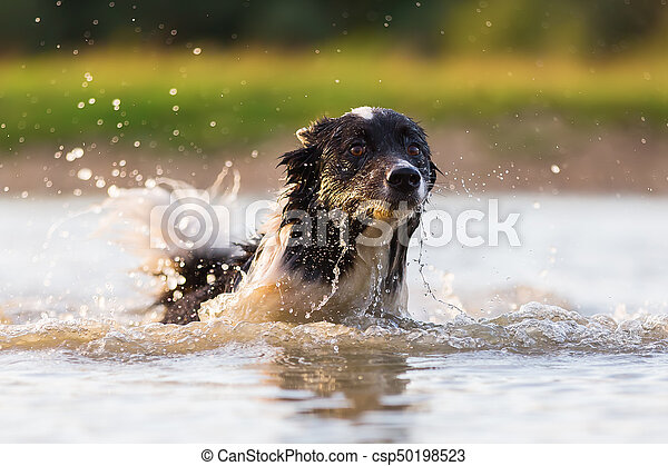 border collie swims in a lake - csp50198523