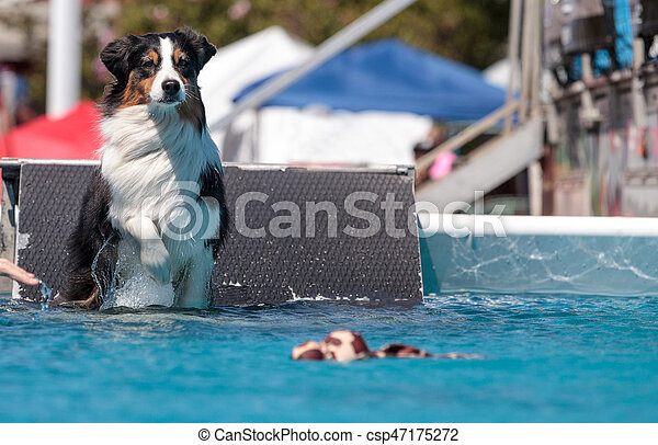 Border collie swims with a toy - csp47175272