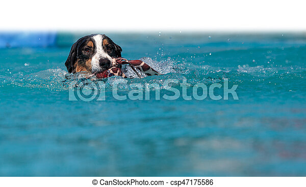Border collie swims with a toy - csp47175586