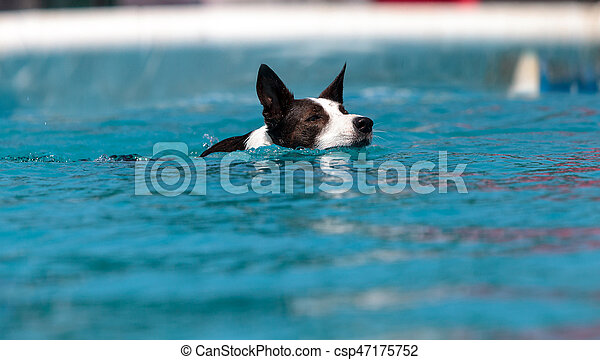 Border collie swims with a toy - csp47175752
