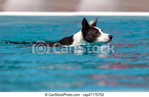 Border collie swims with a toy - csp47175753