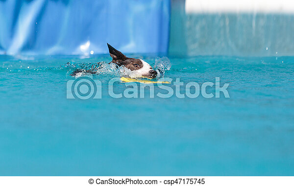 Border collie swims with a toy - csp47175745