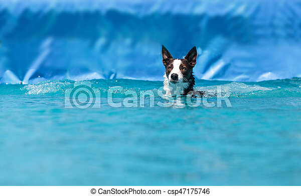 Border collie swims with a toy - csp47175746