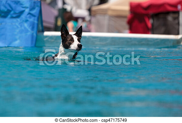 Border collie swims with a toy - csp47175749