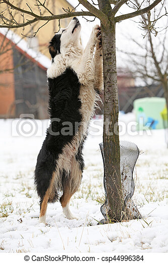 Border collie with a tree - csp44996384