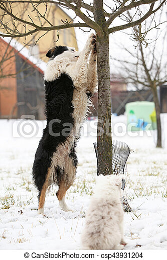 Border collie with a tree - csp43931204