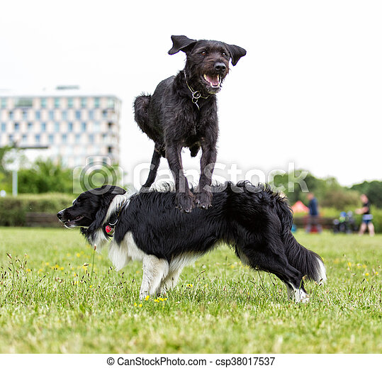 Border Collie with jumping black dog. - csp38017537