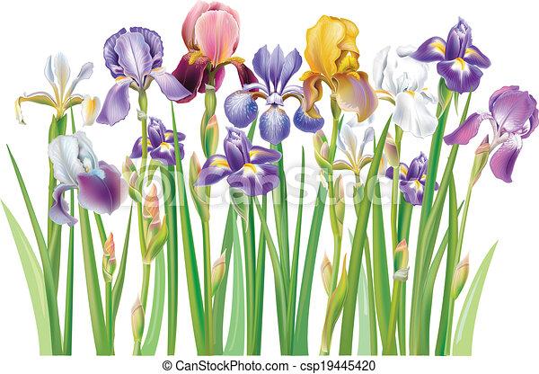 Border of multicolor Iris flowers - csp19445420