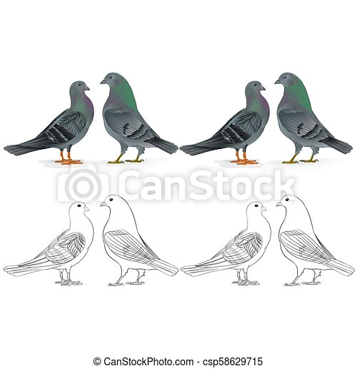 Border Pigeons Carrier Breeding Bird Natural And Outline Set Two