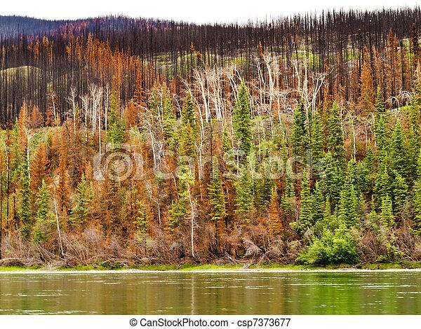 Bosque Boreal en el río Yuokon destruido por el fuego - csp7373677